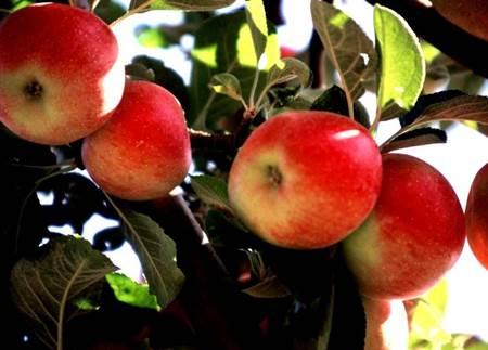 Amasya Elması-11