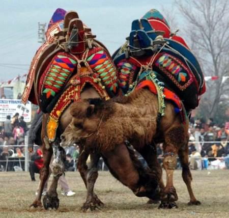 Aydın deve güreşleri