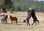 Afyonkarahisar Yılkı Atları