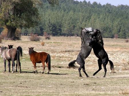 Afyonkarahisar Yılkı Atları-3
