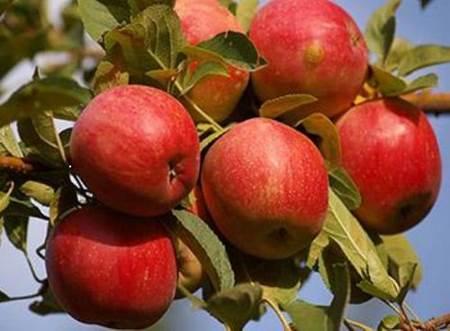 Niğde elması