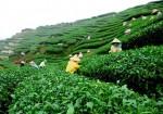 Rize çayı